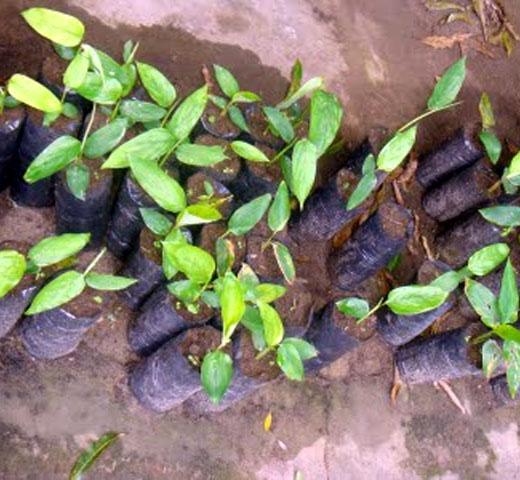 Araruta originária das regiões tropicais da América do Sul.