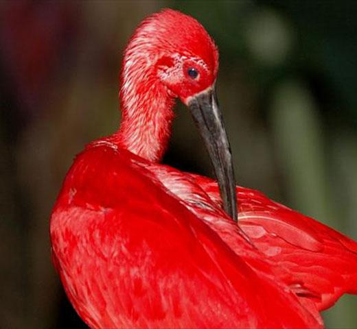 Guará-vermelho considerada uma das mais belas aves.